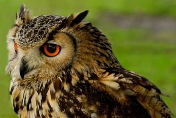 Bengali Eagle Owl (Bubo bengalensis) 2