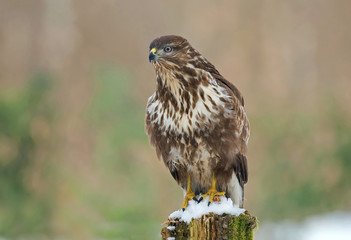 Common buzzard in winter