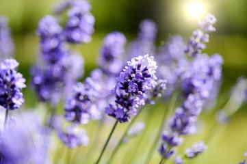 Hyazinthen – Blumen