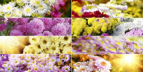 Коллекция хризантем