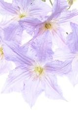 Clematis flower head isolated on white background