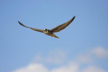 falco lanario uccello rapace in volo