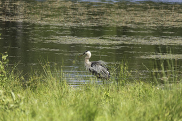 Great Blue Heron in a lake