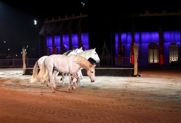 Beautiful lusitano horses in sand arena