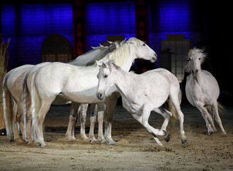 Beautiful lusitano horses galloping