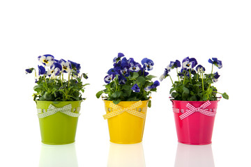 Pansy flowers in colorful buckets