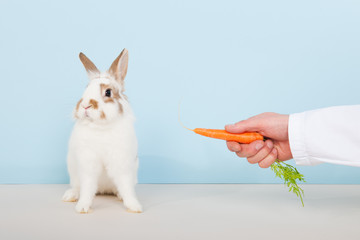 Vet lures a rabbit with carrot