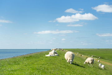 Sheep at the Dutch dike