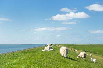 Sheep at the Dutch dike