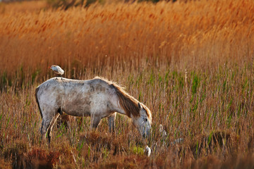 white horse of Camargue horizontally in the countryside