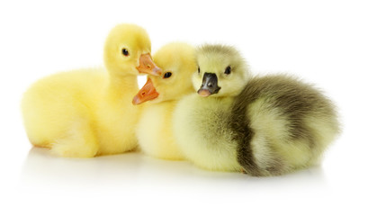 sitting ducklings on the white background