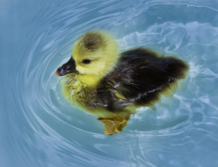 floating duckling on the white background