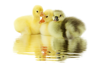 floating ducklings on the white background