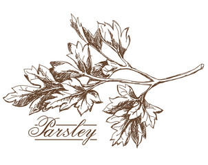 Parsley hand drawing