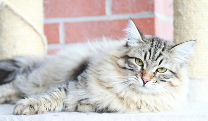 brown kitten of siberian breed, male at nine months