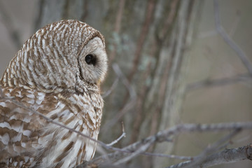 Barred Owl - Looking to Right