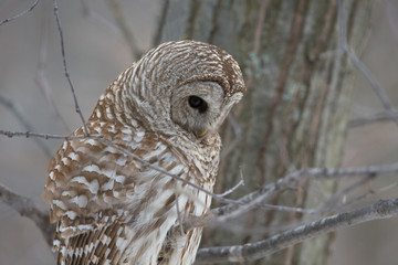 Barred Owl - Looking at Prey