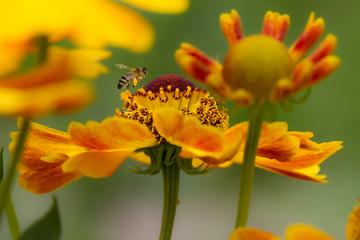 Biene Blüte Blume, Frühling, Sommer,