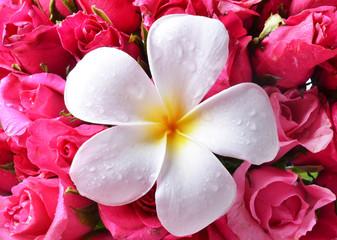 colorful plumeria flower