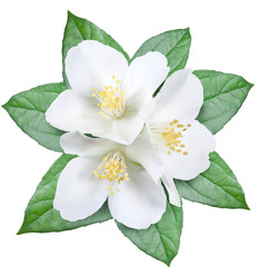 Blooming jasmine flower with leaves. File contains clipping path