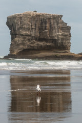 seagull on Muriwai beach