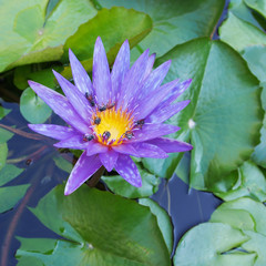 beautiful purple lotus flower with bee on nature background