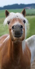 beautiful brown horse face with white mane sends air kiss
