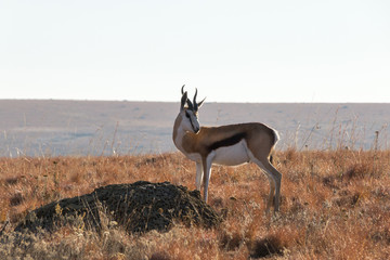 Springbok In Grasslands