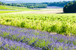 lavender field with vineyard,Drome Department,Rhone-Alpes,France
