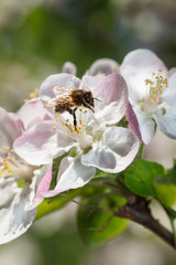 Bee working on apple flower in spring