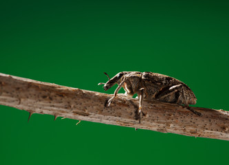 weevil beetle portrait