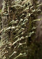 Lichen colony fragment