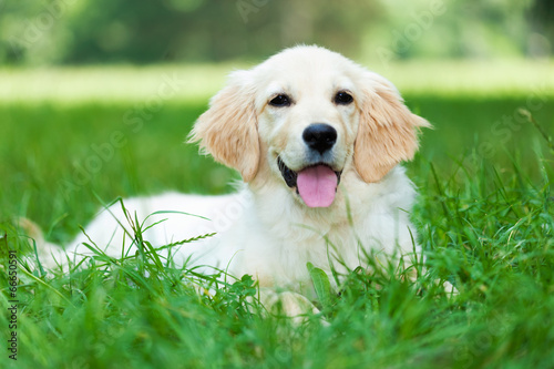canvas print picture Golden retriever