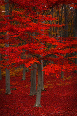 Red tree during fall into the forest