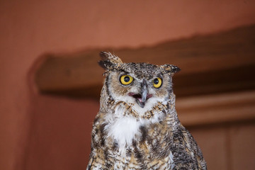 Horned Owl Hooting