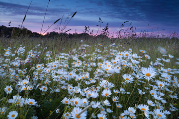 beautiful chamomile field at sunset