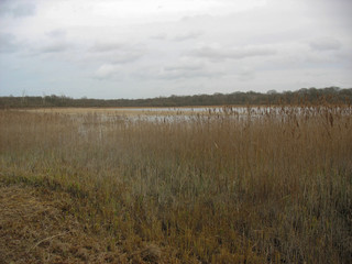 Reedbed near a lake during winter