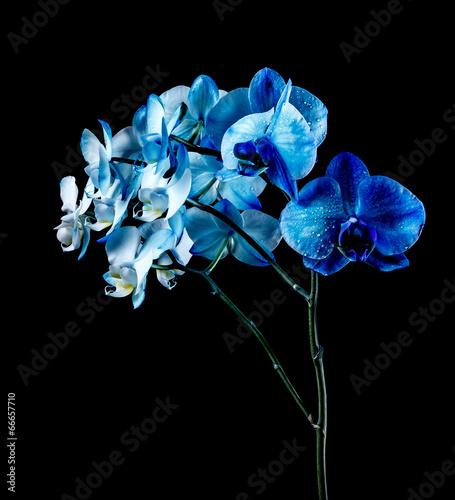 Foto op Plexiglas Orchidee Blue orchid