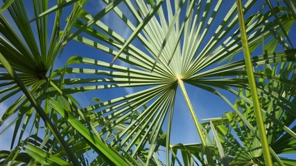 Pan shot of palm tree leaves are moving in the wind