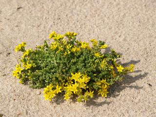 Sedum caustic (Sedum acre L. ) growing on sand