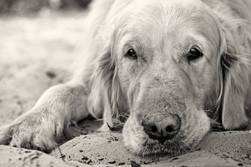 Portrait of golden retriever dog close up