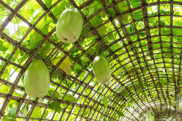 Green Chinese Watermelon hanging on vine lattice.