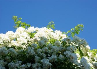 Weiße Rose Licht und Schatten