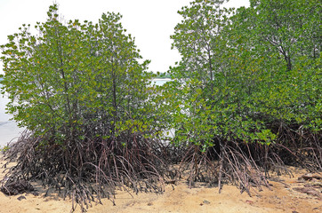 Mangrove Plants During Tropical Low Tide