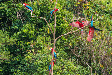 flock of macaws standing in a three in the peruvian Amazon jungl