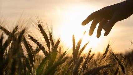 Hand of a farmer touching wheat field