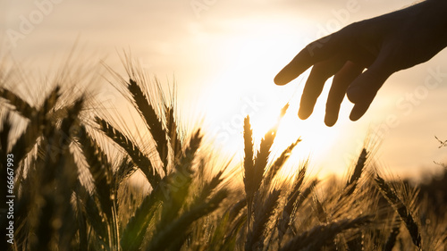 Poster Cultuur Hand of a farmer touching wheat field