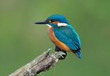 Fototapeta Kingfisher on a branch 3