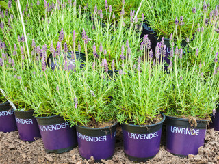 Potted lavender plants on soil
