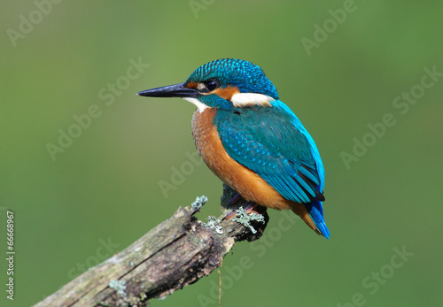 Foto op Canvas Vogel Kingfisher on a branch 3